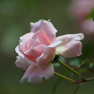 Park Rose